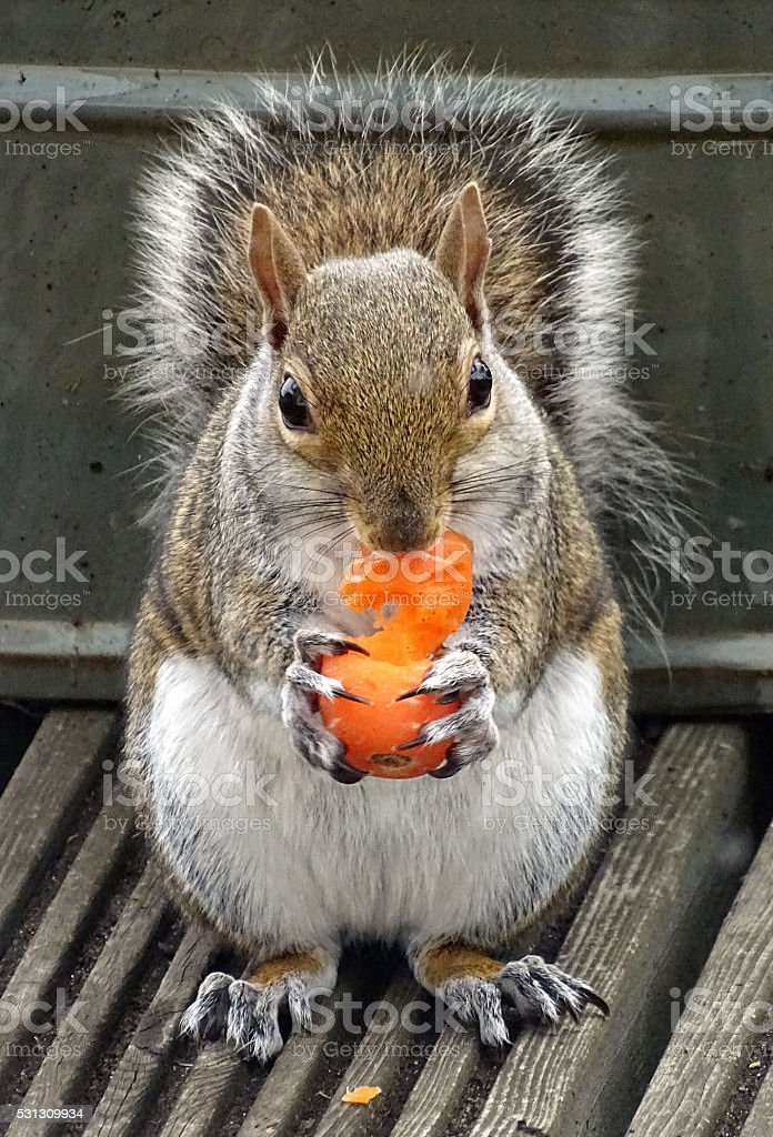 Squirrel eating a carrot stock photo