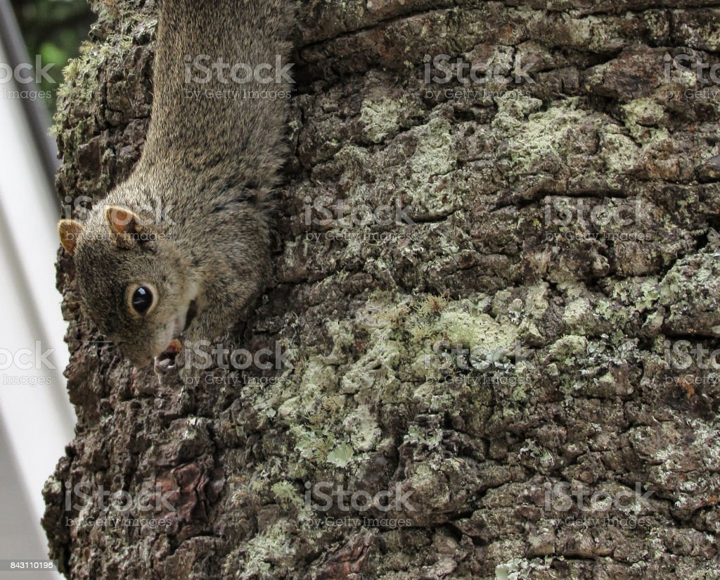 Squirrel Eating a Nut on a Tree stock photo