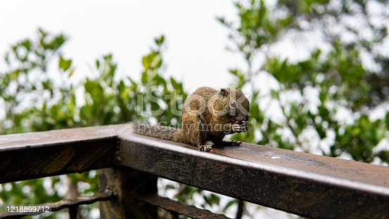 Squirrel eating a nuts on the rails in the wood at the mountains at Kota Kinabalu National Park.
