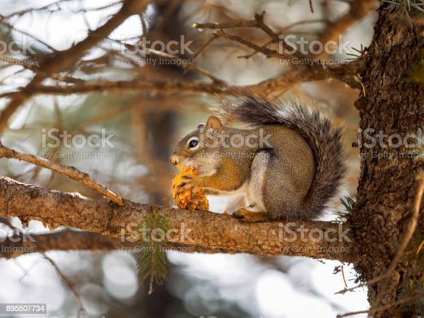 Photo of squirrel eating a pinecone