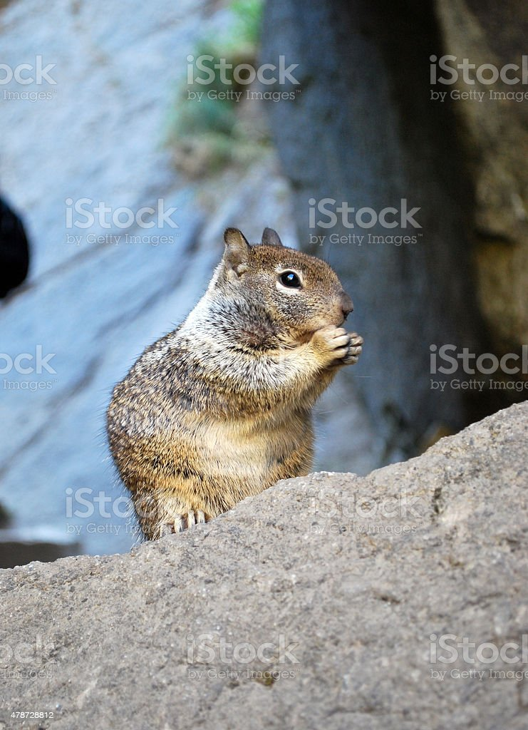 Squirrel Eating an Acorn royalty-free stock photo