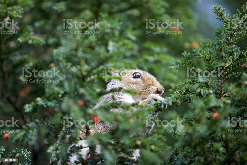 Squirrel eating berries in a Yew Tree royalty-free stock photo