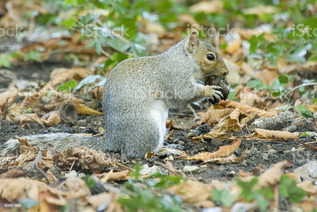 Squirrel Eating Chestnut royalty-free stock photo