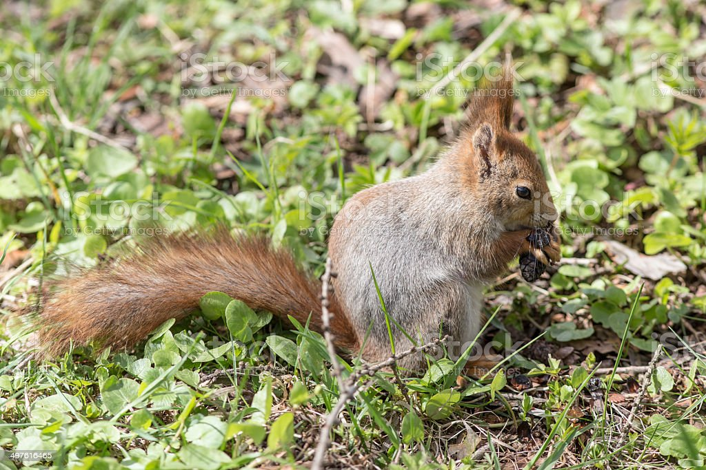 squirrel eating cone royalty-free stock photo