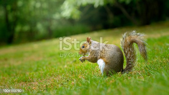 Grey squirrel in a grassy park eating nuts and seeds, side view shot from ground level