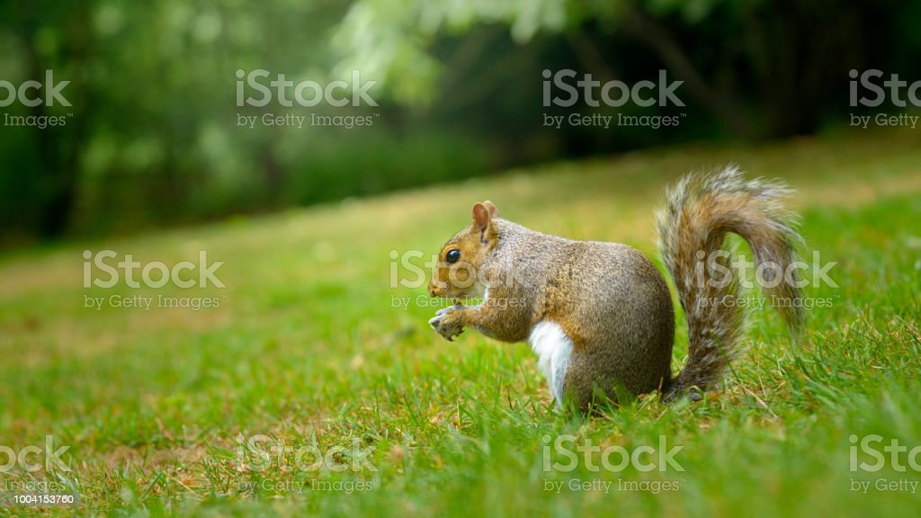 Squirrel Eating Nuts and Seeds in Park stock photo