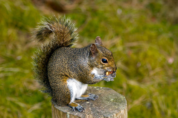 Squirrel eating (selective focus) stock photo