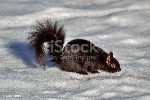 A close up view of a black squirrel eating food in a park in the winter.