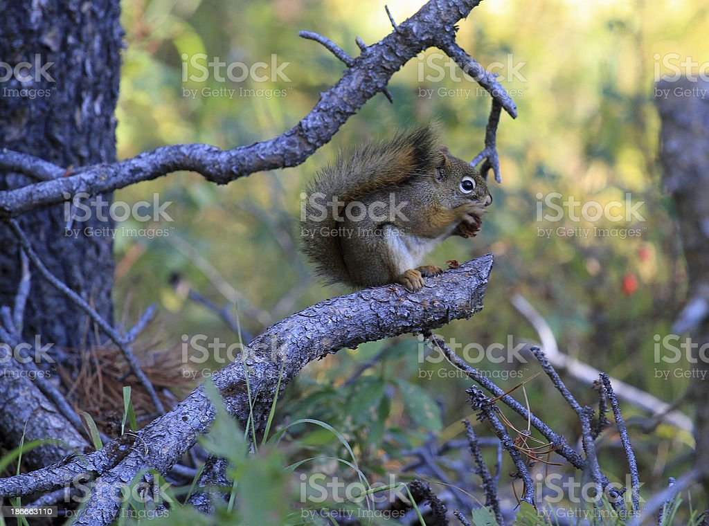 Squirrel Eating royalty-free stock photo