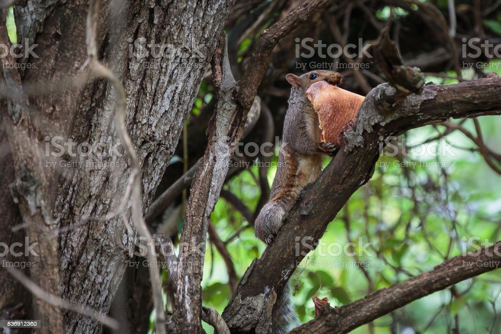 Squirrel Eating Pizza stock photo