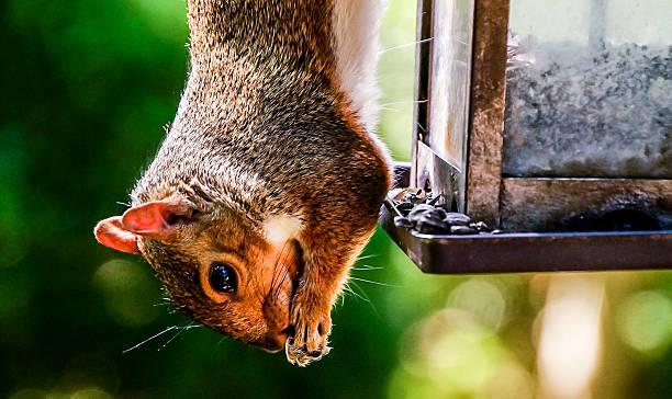 Squirrel Hanging By His Nuts - Bilder und Stockfotos - iStock