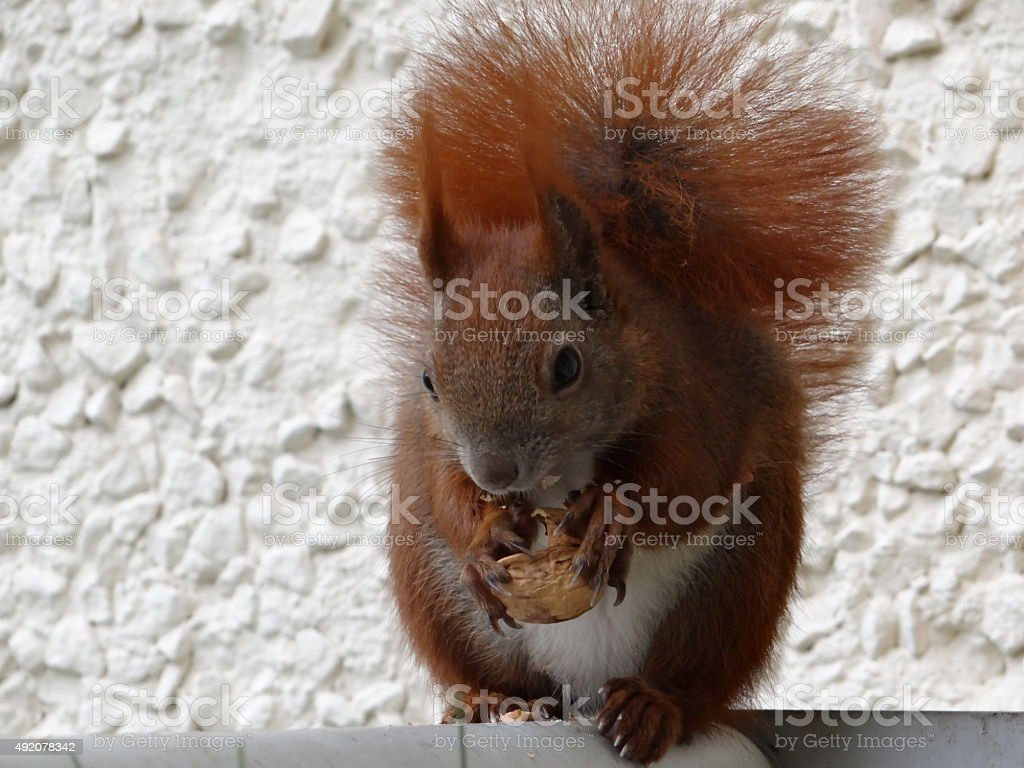 Squirrel eating walnut stock photo