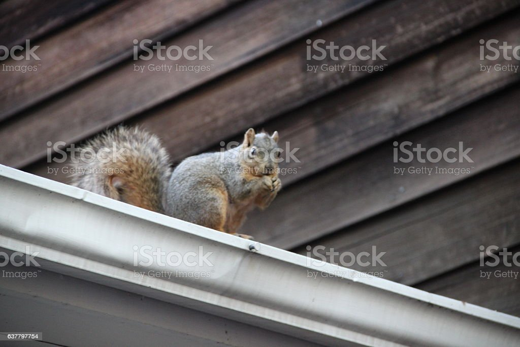 Squirrel Eats a Nut on the Roof - foto de stock