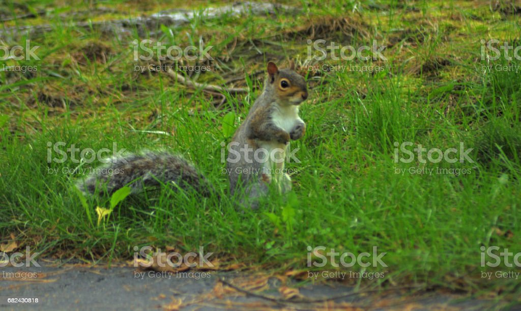Squirrel   Fall New York royalty-free stock photo