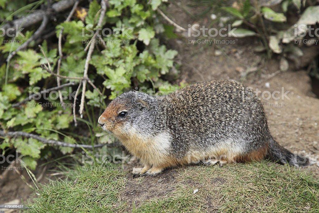 Squirrel Family - Ground sciuridae stock photo