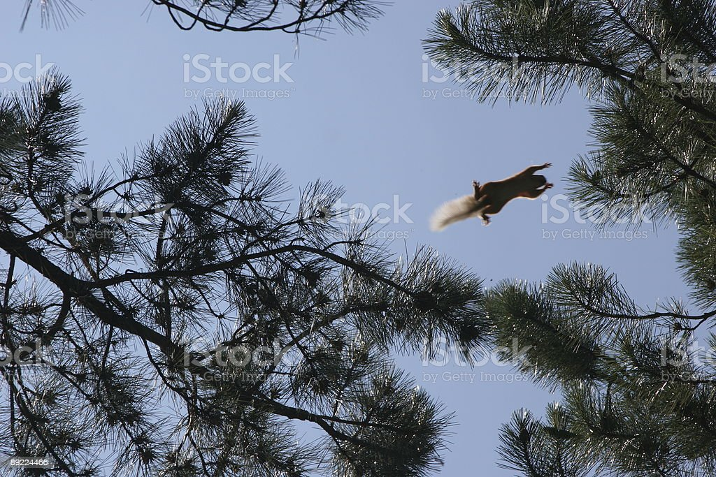 Squirrel flying from one tree to another royalty-free stock photo