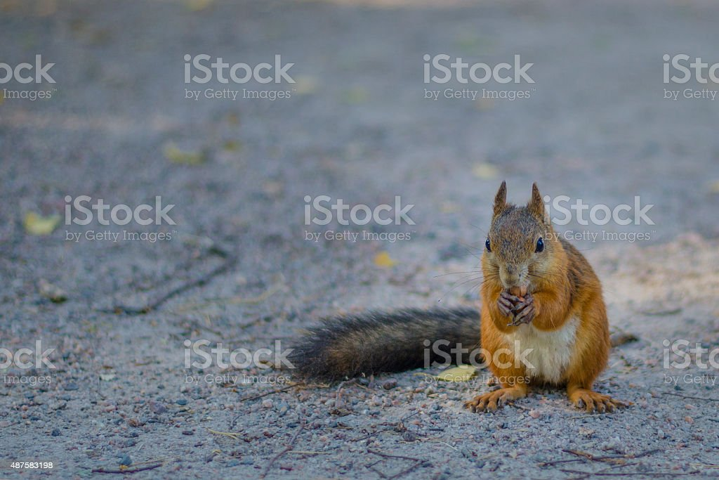 Squirrel front close up stock photo