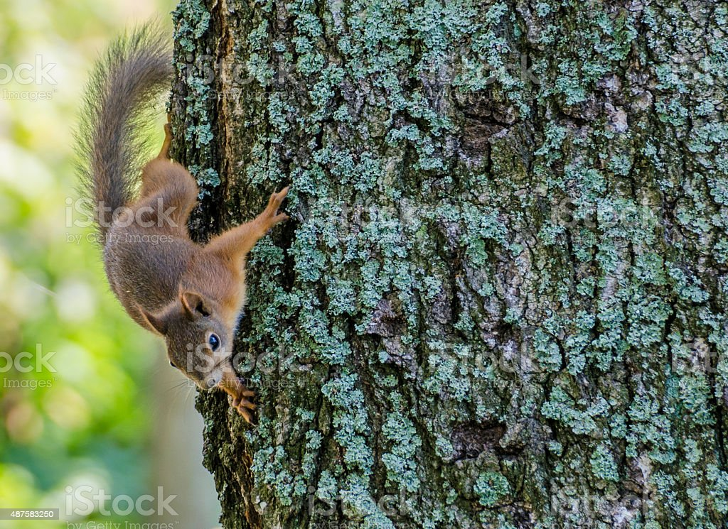 Squirrel going down from three close stock photo