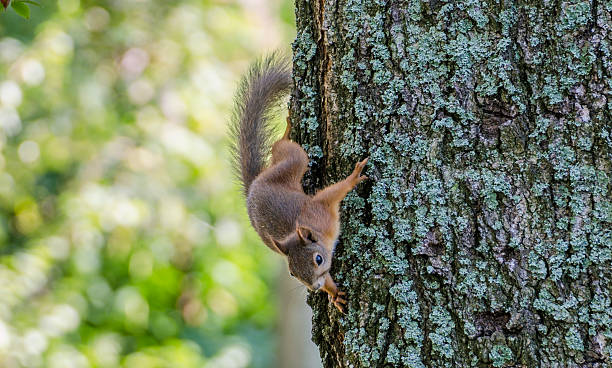 Squirrel going down from three stock photo