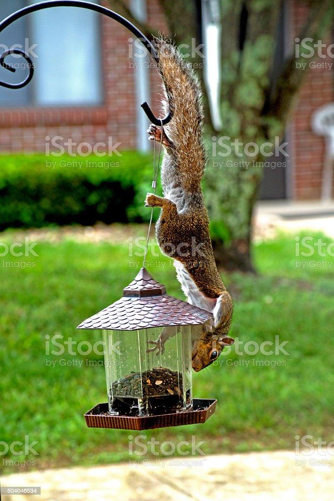 Squirrel haning upside down toward a bird feeder. stock photo