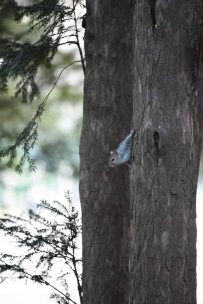 Squirrel  hiding stock photo