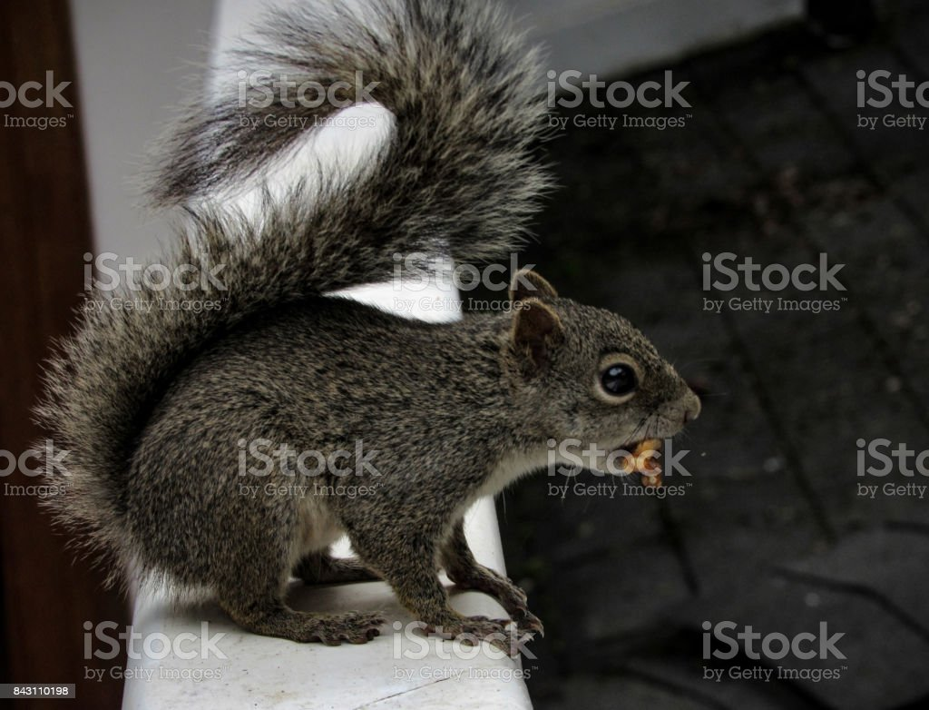 Squirrel Holding a Nut stock photo