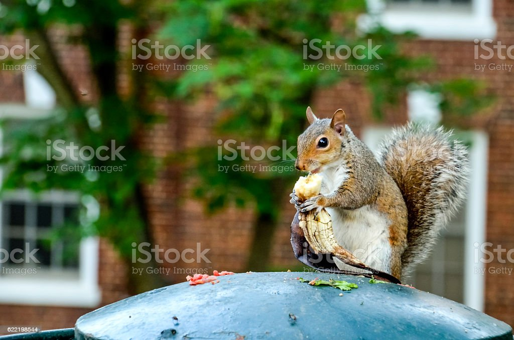 Squirrel holding and eating banana stock photo