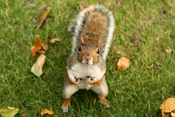 squirrel holding nuts on grassy field - squirrel stock photos and pictures