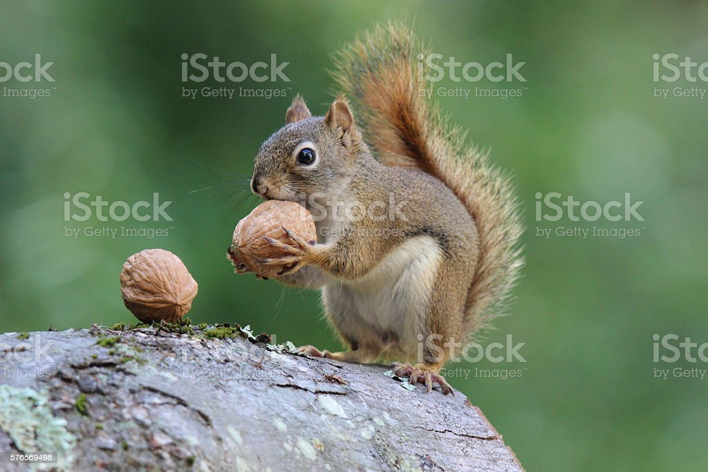 Squirrel holds a Nut An American red squirrel holding a nut. American Red Squirrel Stock Photo