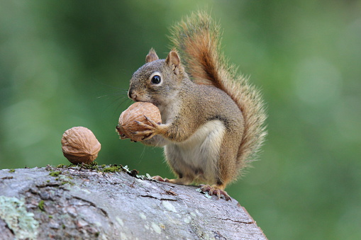 Squirrel Holds A Nut Stock Photo - Download Image Now