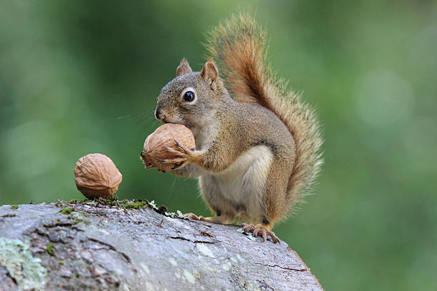 https://media.istockphoto.com/photos/squirrel-holds-a-nut-picture-id576569498?k=6&m=576569498&s=612x612&w=0&h=qp7e_8EcNgR-Ok6oOl3Awd_IxWOr_UWCzJYC7mEFGfs=