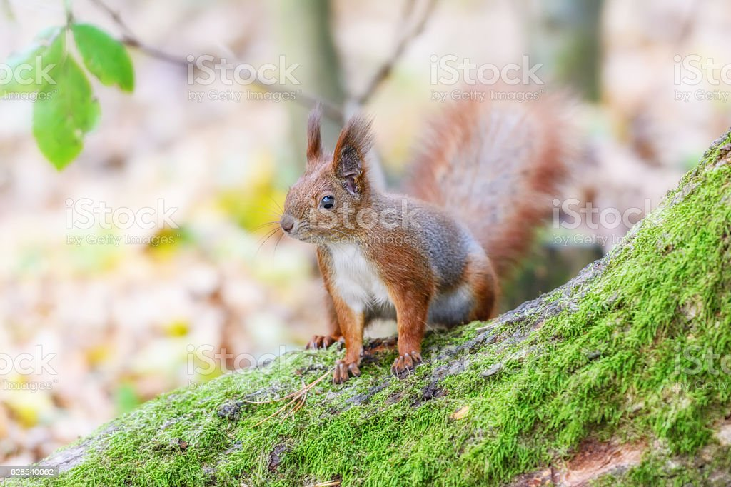 Squirrel in a forest stock photo