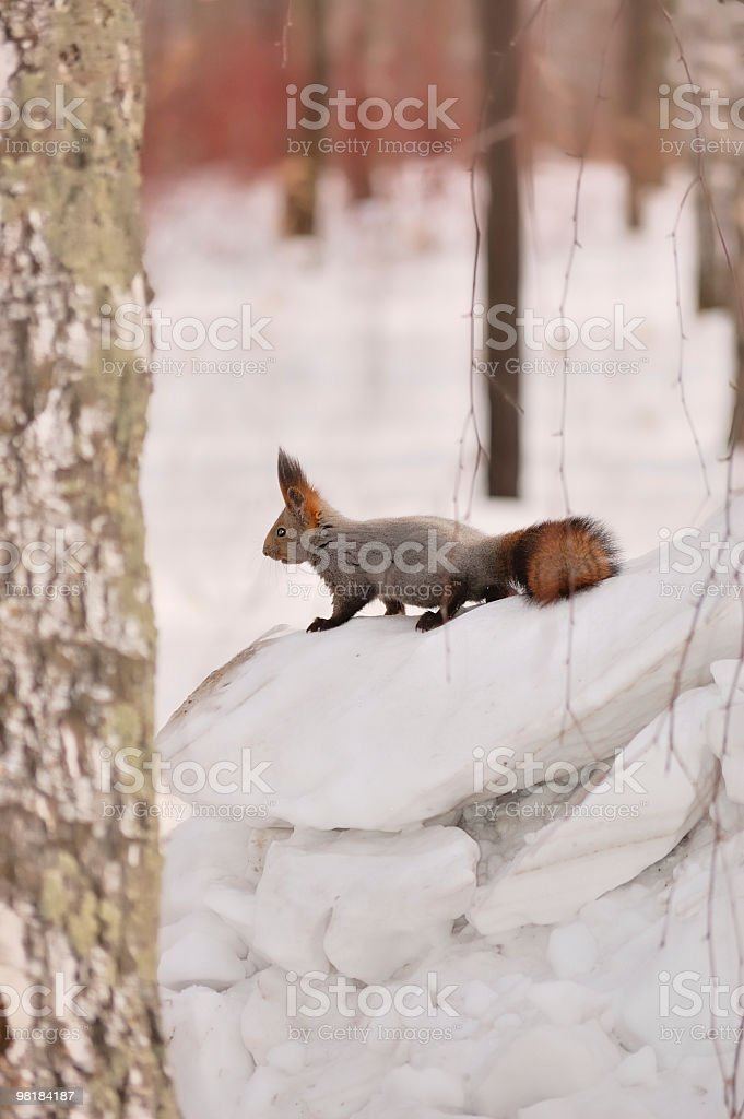 Squirrel in a winter forest. royalty-free stock photo