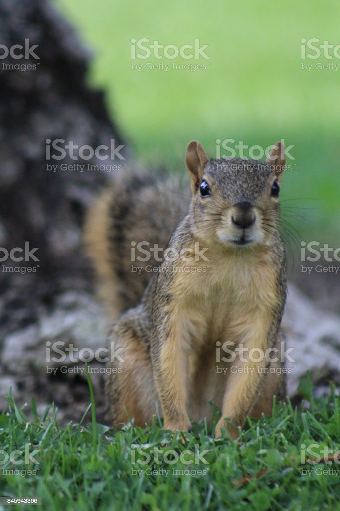 Squirrel in askance stock photo