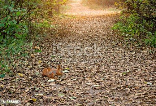 istock Squirrel in autumn forest 847883852