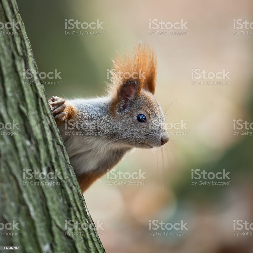 Squirrel in autumn park royalty-free stock photo