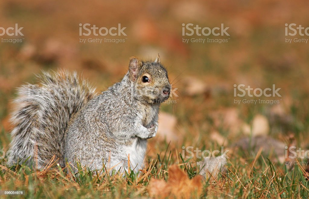 Squirrel in autumn royalty-free stock photo