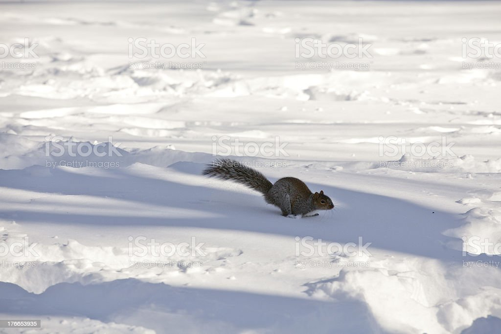 Squirrel in Center Park New York at winter time royalty-free stock photo