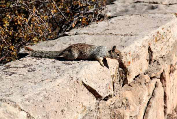Eichhörnchen in Grand Canyon Blick von South Rim, Arizona, USA – Foto