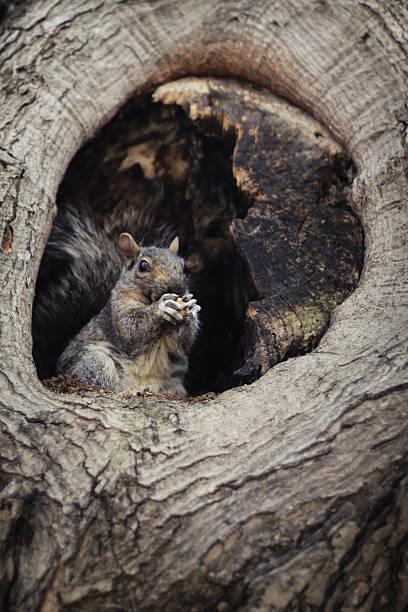 Squirrel in his drey
