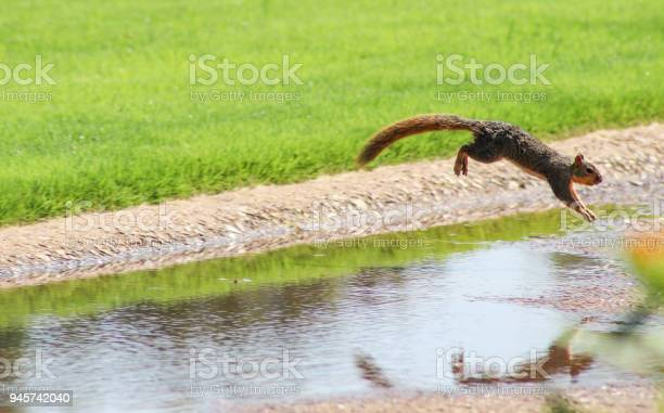 Photo of Squirrel in motion - squirrel jumping over a ditch in a park - caught in mid air