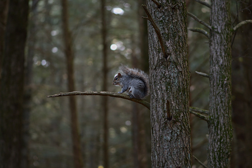 Gray squirrel in old-growth woods in Connecticut