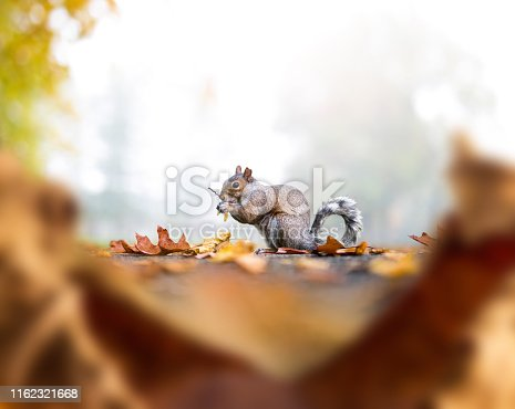 Squirrel eating nuts in the park. Unusual perspective from the ground through dry leaves.