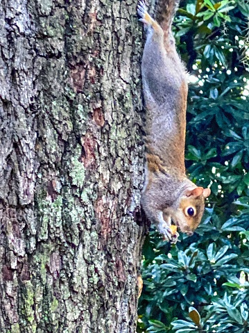A squirrel snacks on a nut in  a park in downtown Savannah GA.