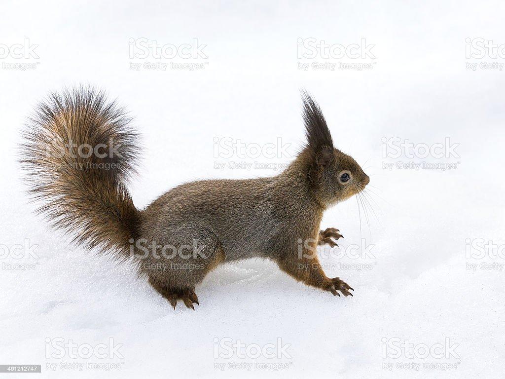 Squirrel in snow stock photo