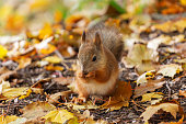 istock squirrel in the autumn forest 1054420578