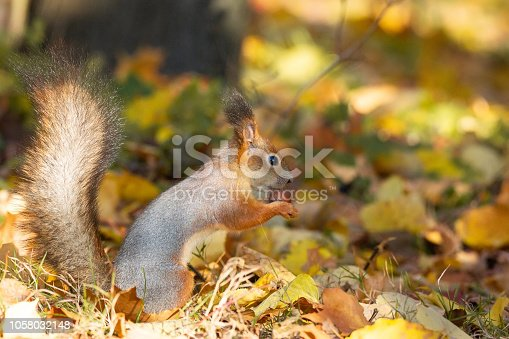 Squirrel sits on the asphalt in an autumn park and waits for a nut