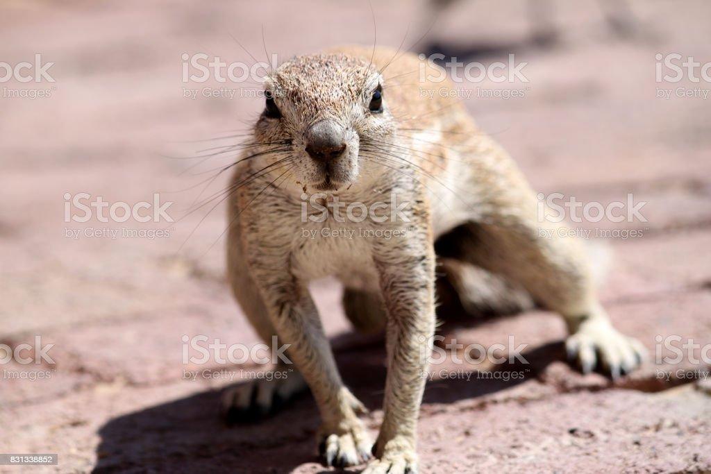 Squirrel in the Kalahari stock photo