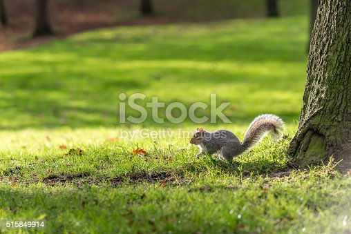 Grey squirrel looking for food in the park.