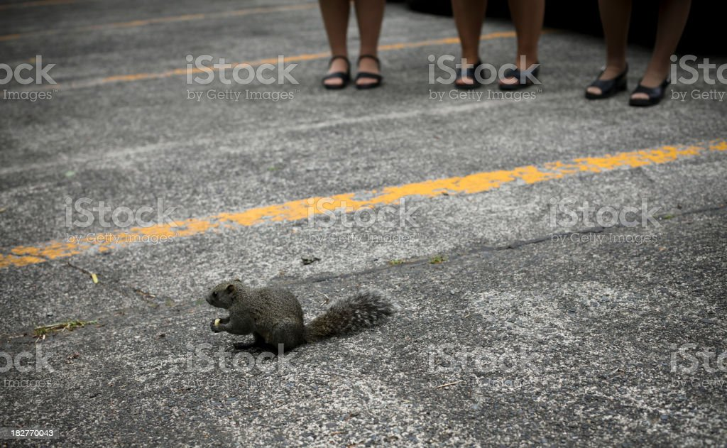 Squirrel in the street, Japan royalty-free stock photo
